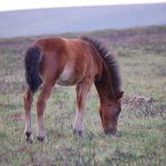 Pedigree Dartmoor Ponies bred at North Hall Manor, Widecombe in the Moor, Dartmoor