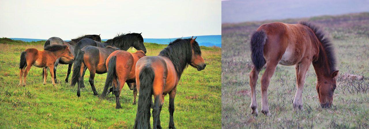 Pedigree Dartmoor Ponies bred at North Hall Manor, Widecombe in the Moor, Dartmoor